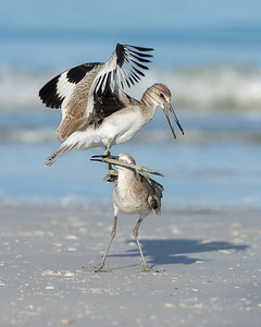 Warring Willets