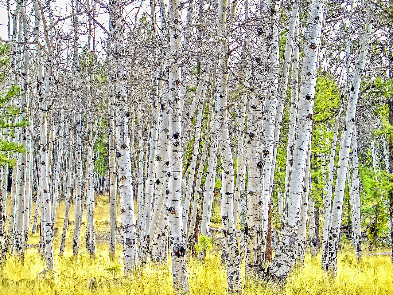 Aspens-Near Grand Canyon