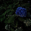 The lone blue hydrangea