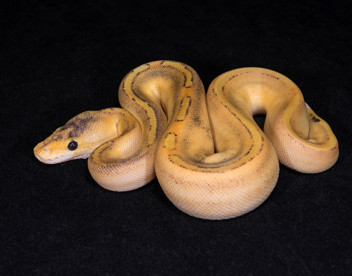 109FCF, female Champagne Fire, $275, hold for Arianna B.