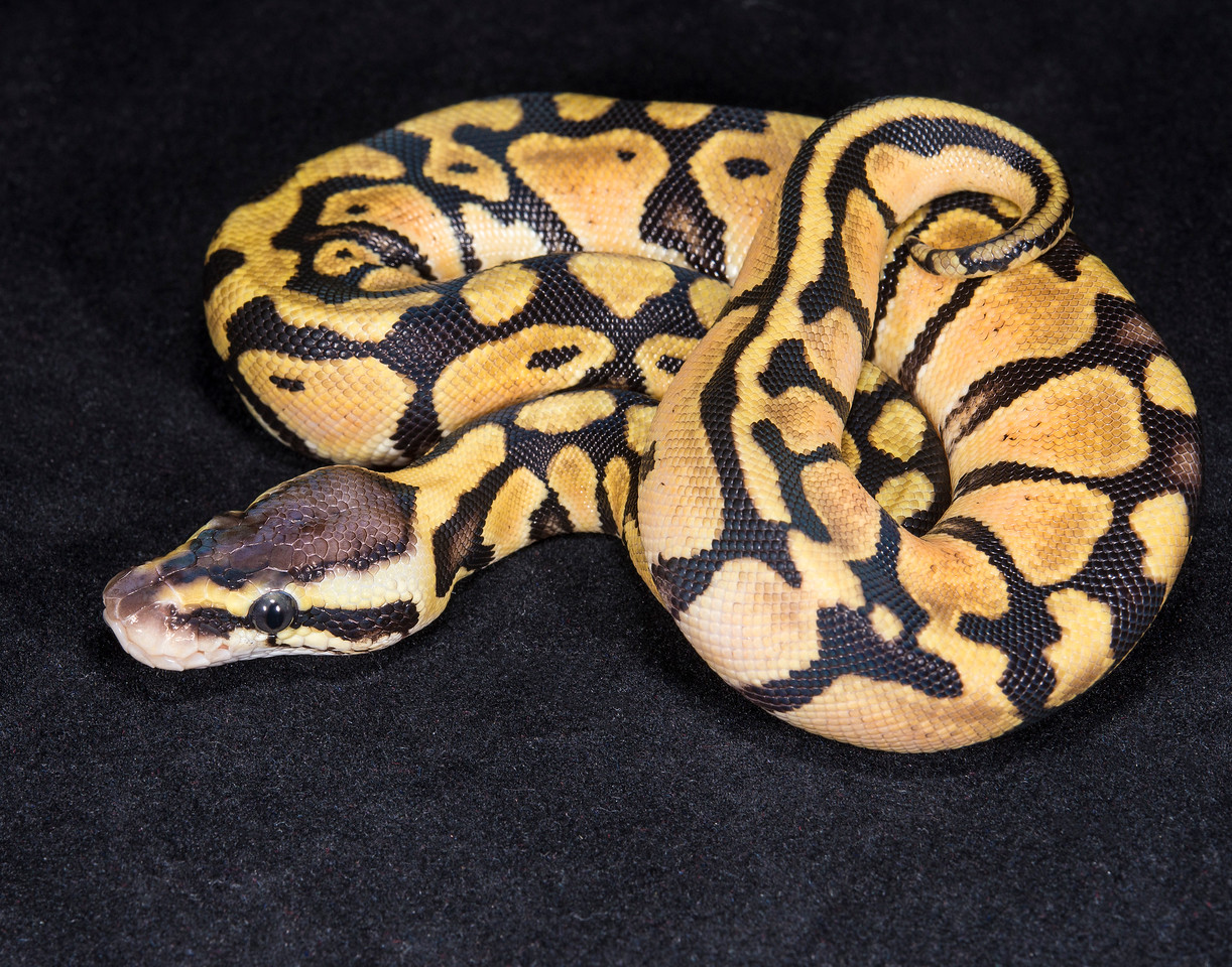 063MP, male Pastel, $30, hold for Darlene S.