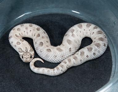 H2101, Male Axanthic Conda 66% Het Albino