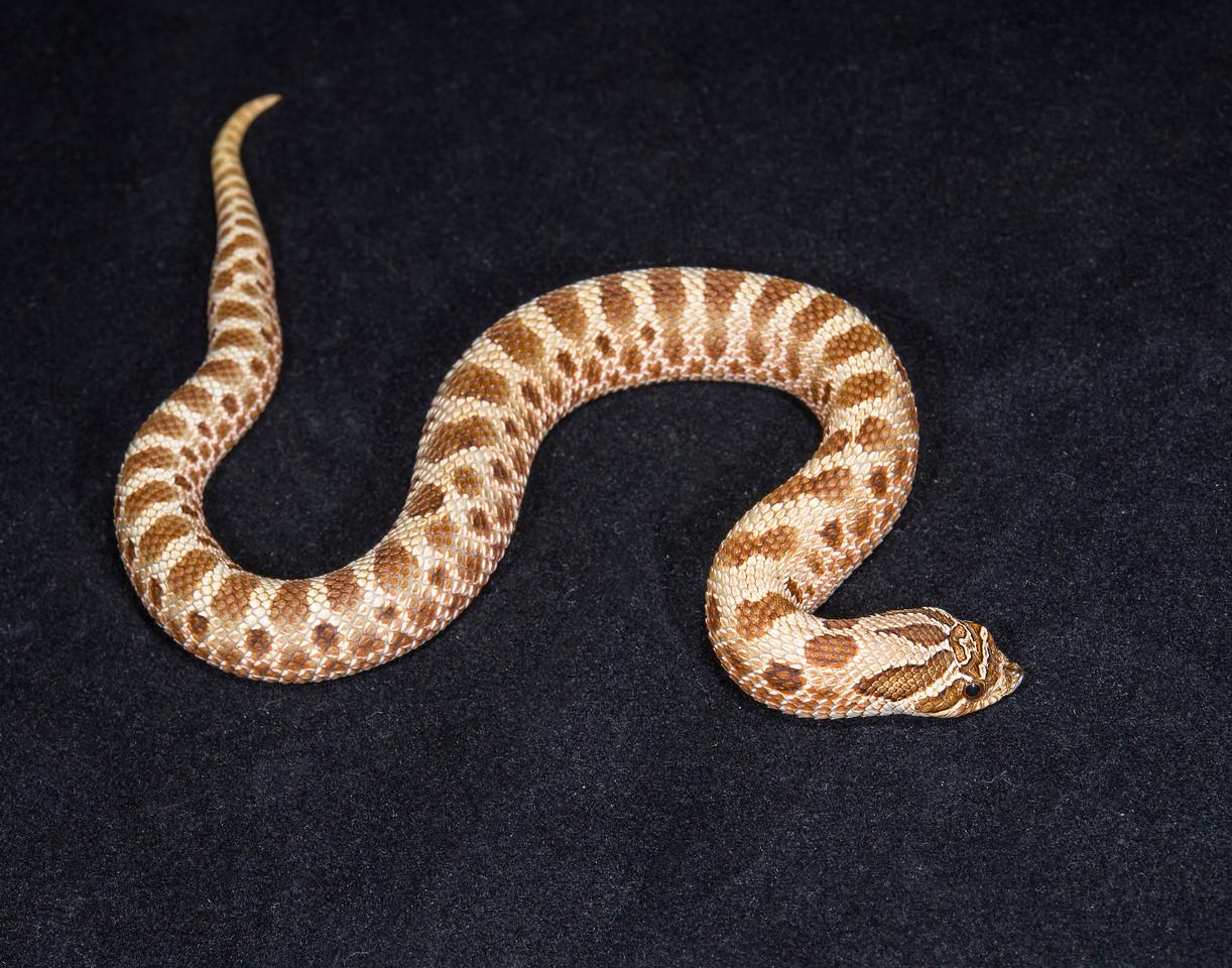 Anaconda Het. Albino female, F0815, sold Cold blooded expo OKC