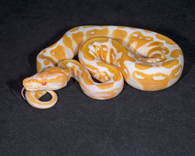 1848 _F Albino, $200