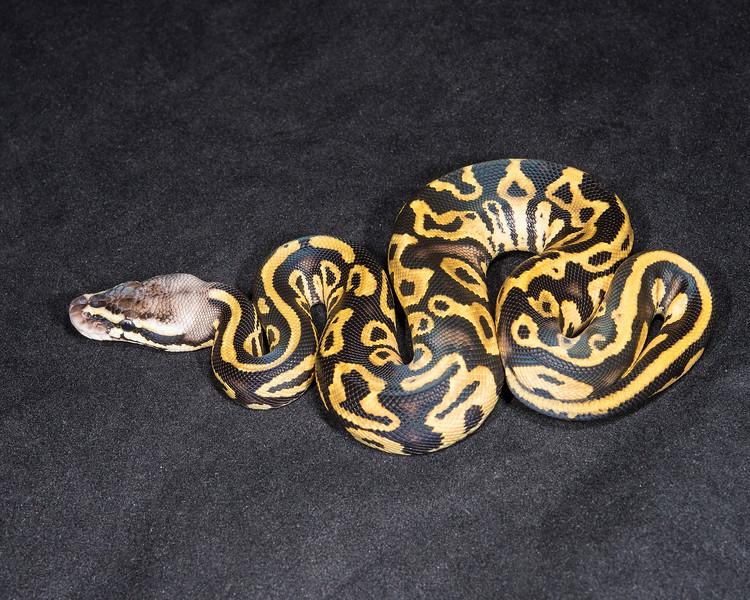 1844_M Leopard Pastel Het Ghost, $125