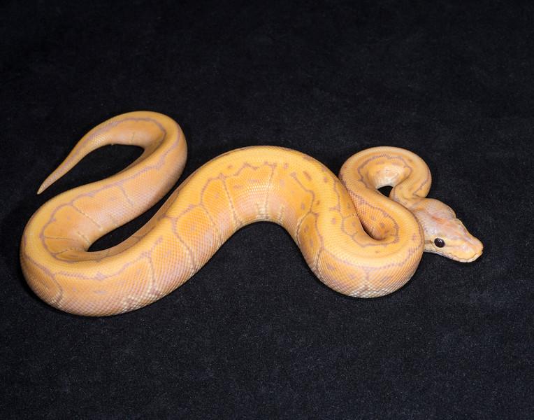 073MBPIN, male Banana Pinstripe, $275