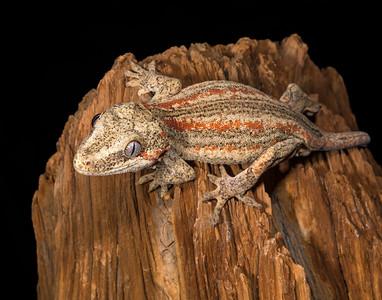 Gargoyle Gecko male #2