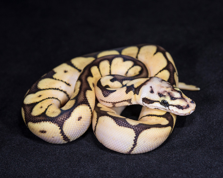 1874_M Bumble Bee Het Ghost, $135