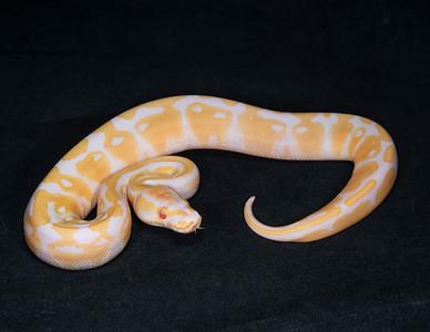 #2071, Female Albino 100% Het Pied, $300