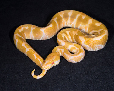 1846_M Enchi Albino, - sold