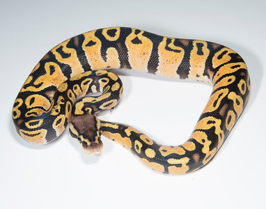 B2116, Female Pastel