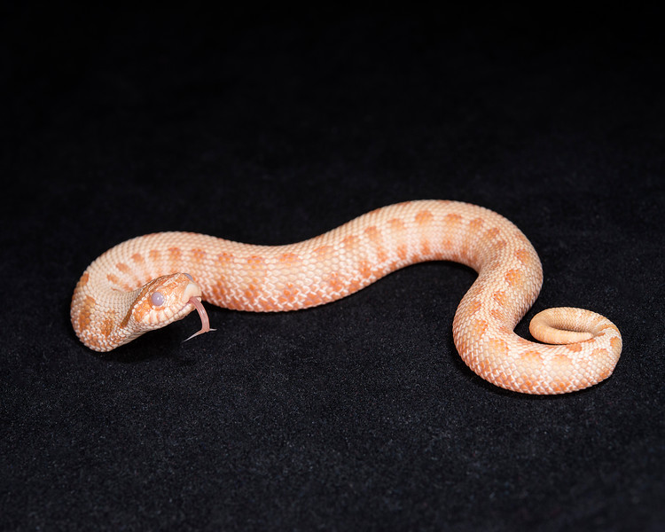 Male Anaconda Albino Hognose, $200