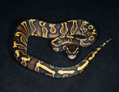 #2035, Male GHI Yellow Belly, $175