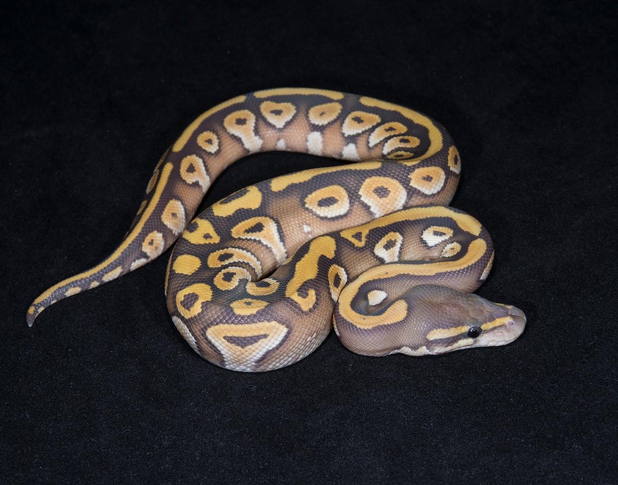 041MMG, male Mojave Ghost, $150