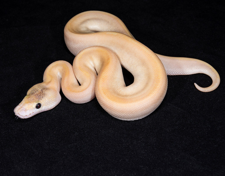 111FBC, female Butter Champagne, $250