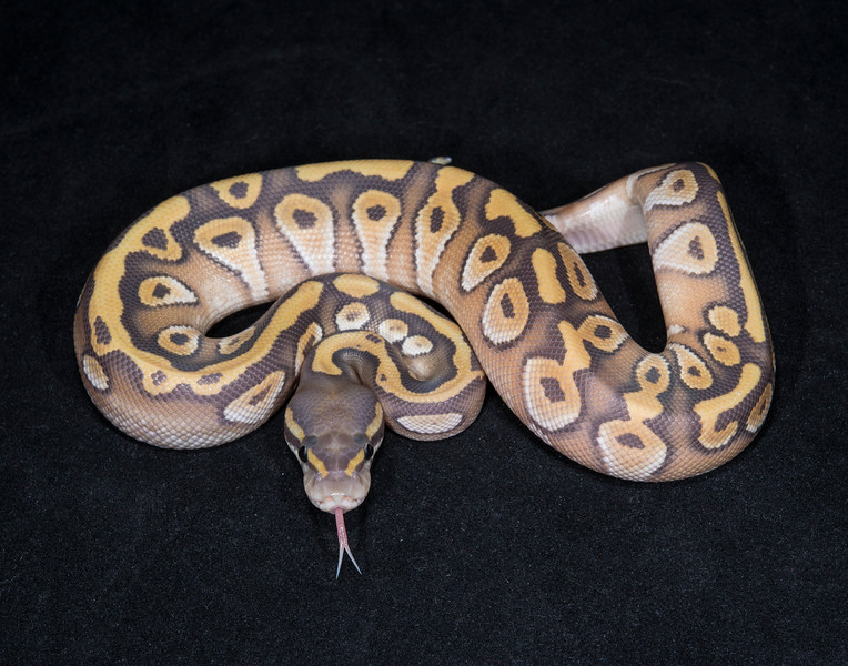 042MMG, male Mojave Ghost, $150