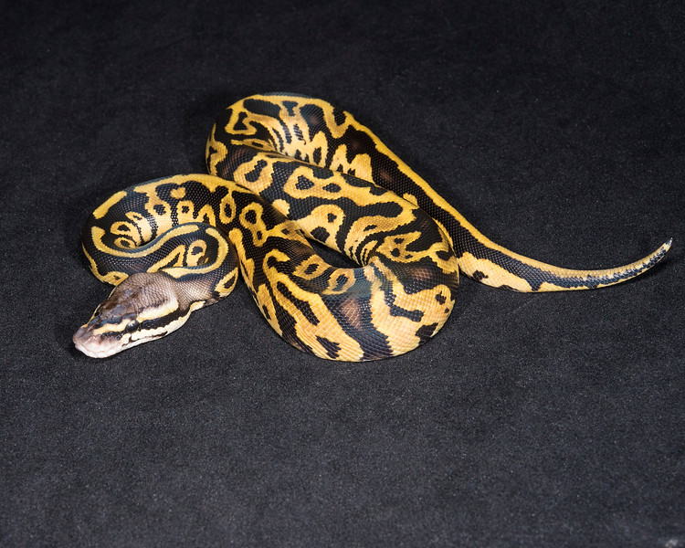1842_F Leopard Pastel Het Ghost, $150
