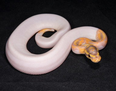 #1753, male Banana Pied, $800