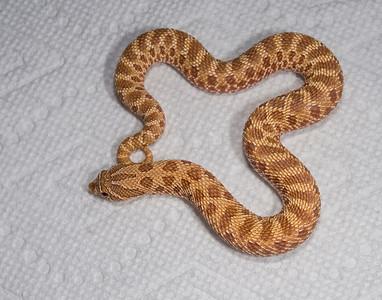 HG19_Hypo female, $125