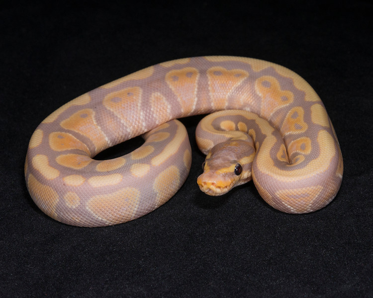 #1761, male Banana Yellow Belly or Spector, $200