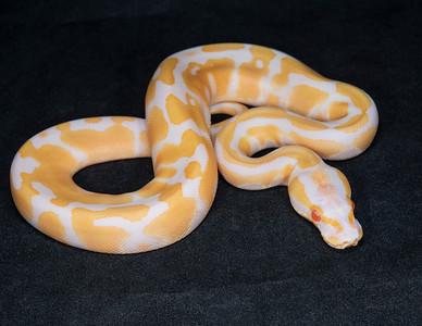 #2069, Female Albino 100% Het Pied, $300