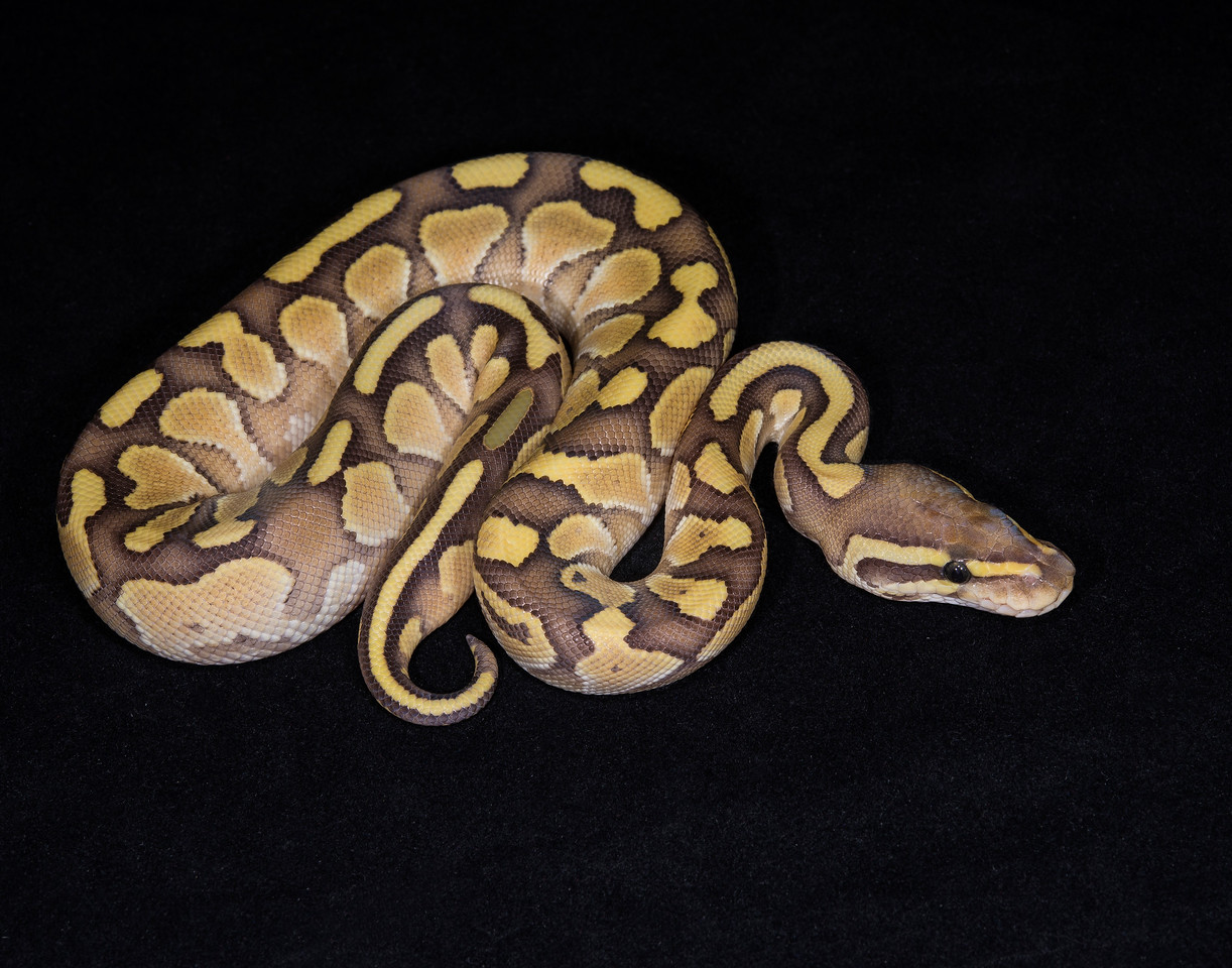 137FNUC, female Nuclear (Butter Fire), $125