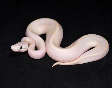 #1781, Female Pastel Ivory, $300