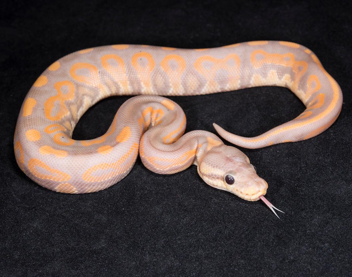 074MBCIN, male Banana Cinnamon, sold, Hannah