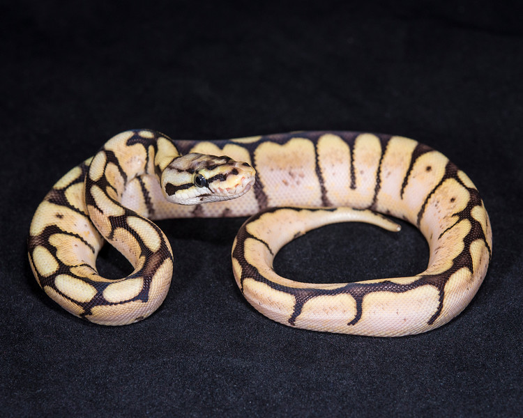 1873_F Bumble Bee Het Ghost, $135