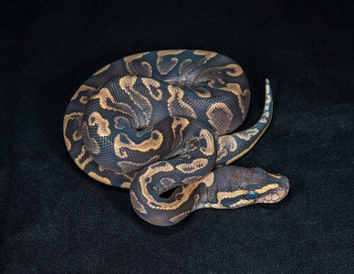 #2002, Female GHI Yellow Belly, $275
