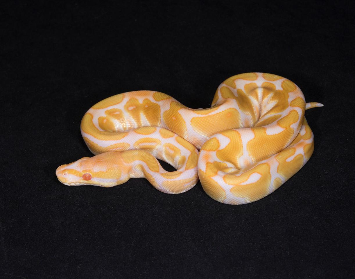 105FA, female Albino, $225