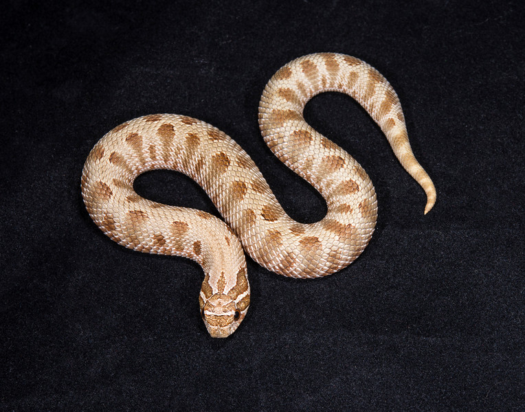 Anaconda Het. Albino female, F0315, sold Cold blooded expo OKC