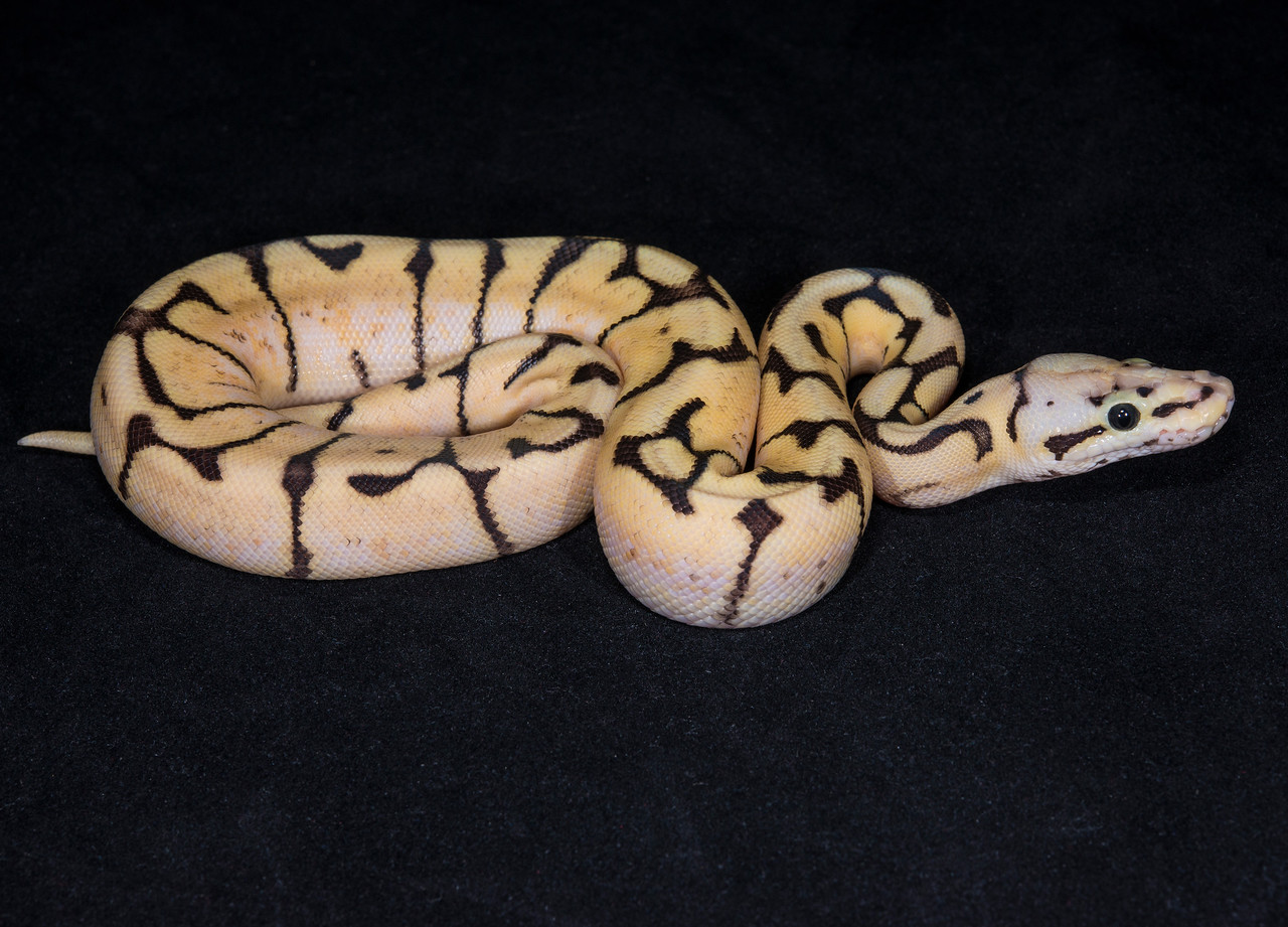 038FFB16, female Fire Bee, sold HERPS OKC