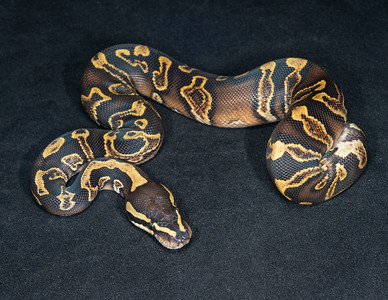 #2036, Male GHI Yellow Belly, $175