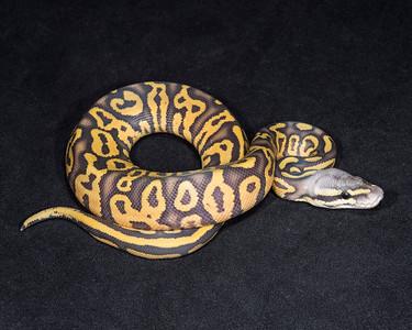 1840_M Leopard Pastel Ghost, $300