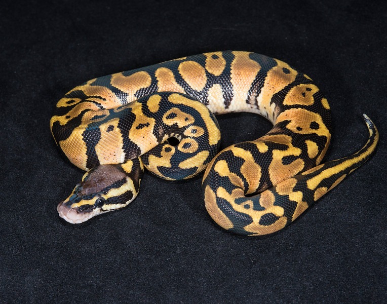 036MP16, male Pastel, sold HERPS OKC