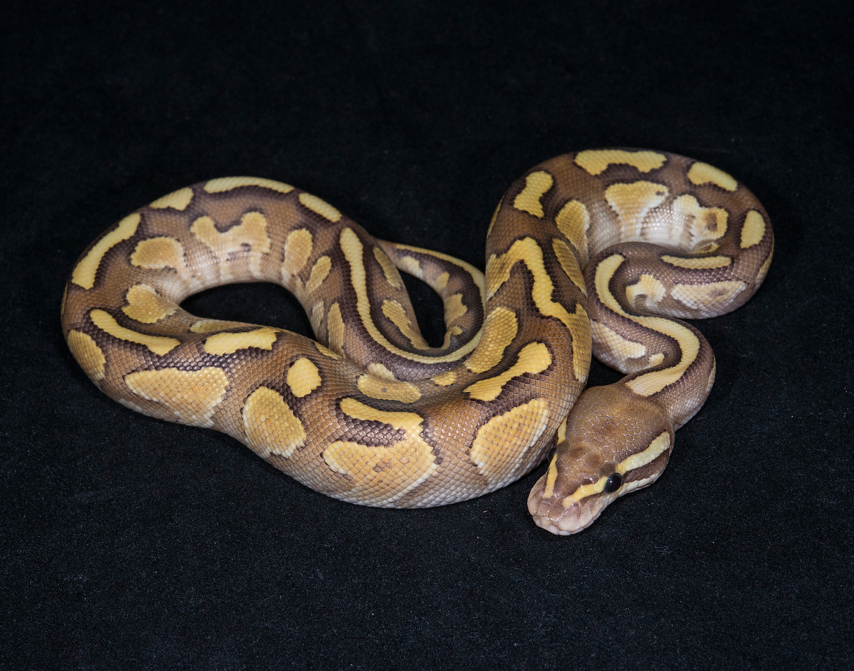 022MFB16, male Fire Butter (Nuclear), sold HERPS OKC