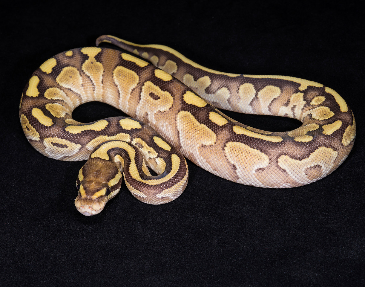 141FNUC, female Nuclear (Butter Fire), $125
