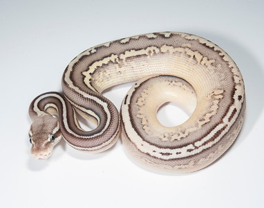 B2114, Male Cinnamon Leopard Pastel (Lesser?)?