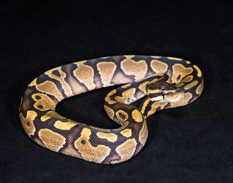 121FSPK, Female Spark/Yellow Belly, $50, hold for Darlene S.