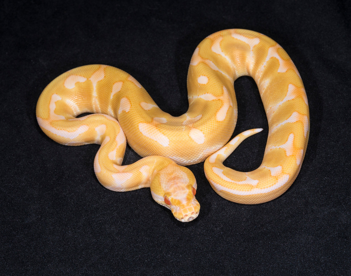 088FEA, female Enchi Albino, $400