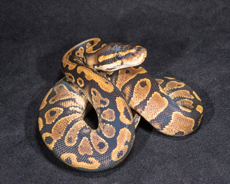 1869_M Yellow Belly or Gravel, $35