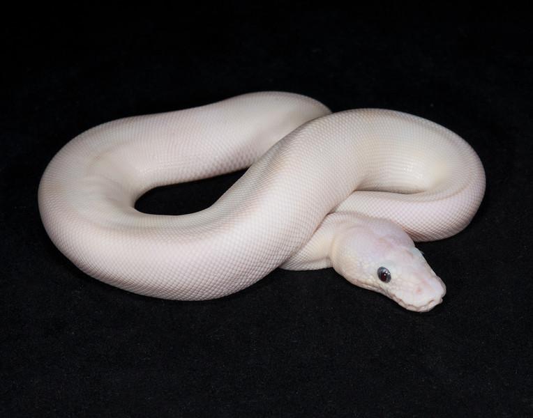 052FBEL, female Blue-eyed Leucistic, sold, Ximena