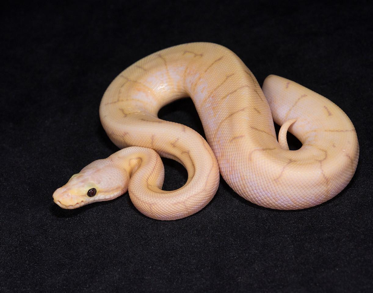 #1718, Male Banana Spinner Pastel, $300