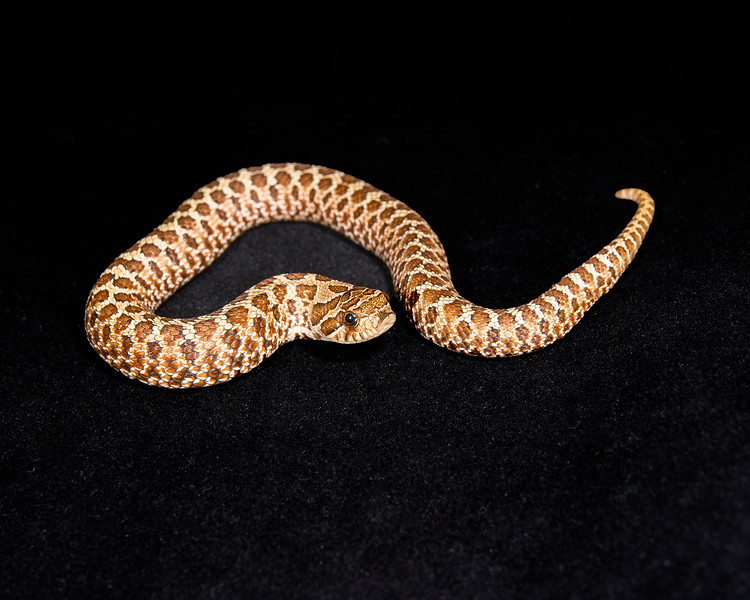 Female Het Albino Hognose, $75
