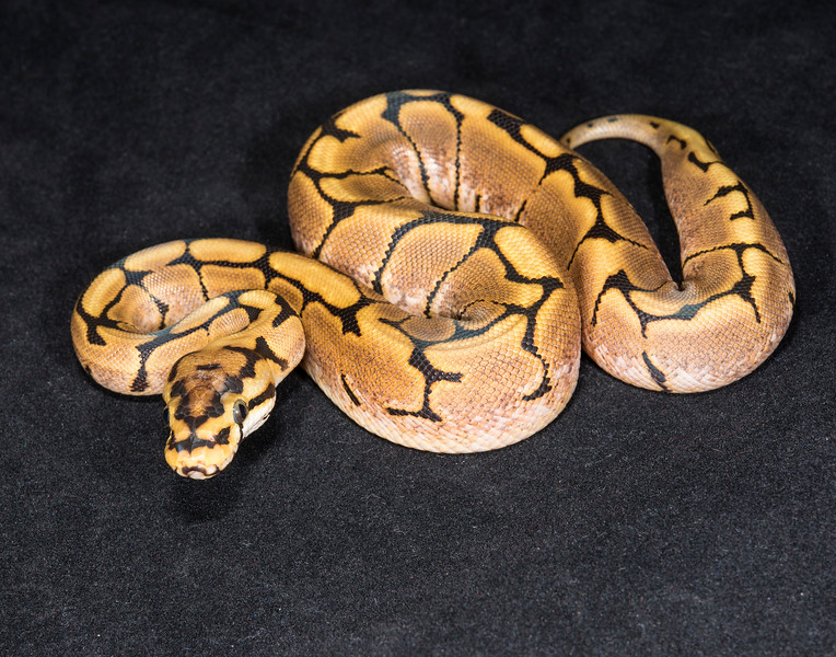 035FS16, female Spider, sold HERPS OKC