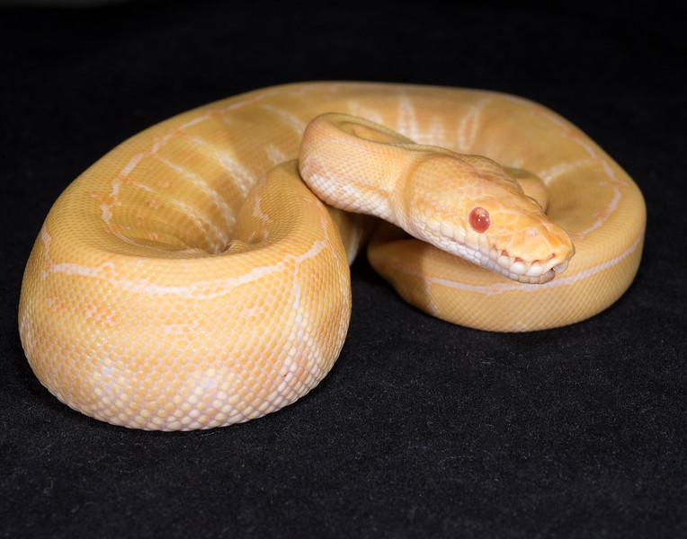 096FAPIN, female Albino Pinstripe, $275, hold for Chris C.