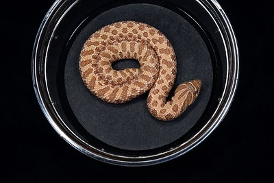 #H2025, Female Evans Hypo Hognose, $325