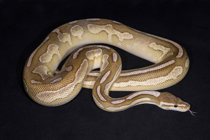 Adult male Cinnamon Lesser, $225.  Proven breeder, 4 years old, and 1182 grams, sold Tiffany H.