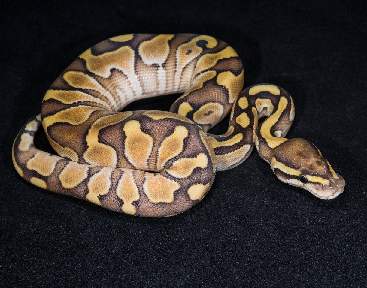 049FL, female Lesser, sold Cold blooded expo OKC